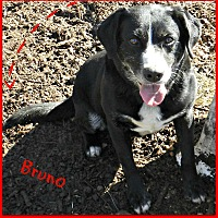 Adopt A Pet :: Bruno - Lawrenceburg, TN