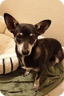 Corgi/Terrier (Unknown Type, Medium) Mix Dog for adoption in Wheatland, Wyoming - Jenny