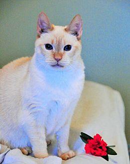 Siamese Cat for adoption in Duluth, Georgia - Buttercup