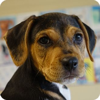 Terrier (Unknown Type, Medium)/Hound (Unknown Type) Mix Puppy for adoption in Columbia, Illinois - Kalabar