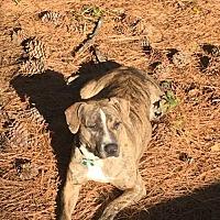 Pit Bull Terrier Mix Dog for adoption in Alpharetta, Georgia - LillyGirl