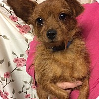 Adopt A Pet :: Sapphire - Kansas city, MO