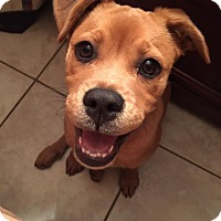 Boxer Mix Puppy for adoption in Davie, Florida - Bailey
