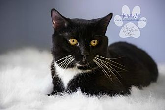 Domestic Shorthair Cat for adoption in Toledo, Ohio - SOX