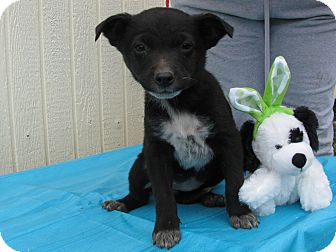 Feist/Australian Cattle Dog Mix Puppy for adoption in Humboldt, Tennessee - Pesto
