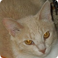 Domestic Shorthair Cat for adoption in Jacksonville, North Carolina - Dawn