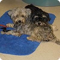 Adopt A Pet :: Armani - Lockhart, TX