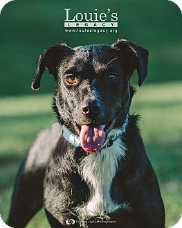 Labrador Retriever/Border Collie Mix Dog for adoption in Cincinnati, Ohio - Oreo