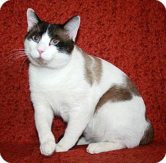 Siamese Cat for adoption in Phelan, California - Meeko