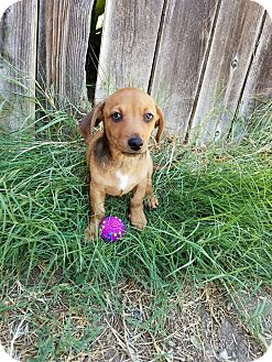 Terrier (Unknown Type, Small) Mix Puppy for adoption in Rancho Cucamonga, California - Charlie