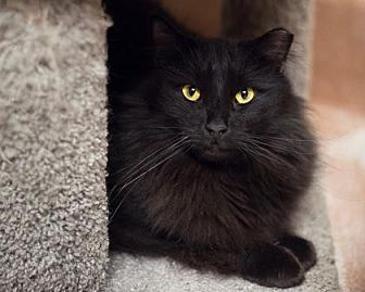Domestic Longhair Cat for adoption in Palm Springs, California - Barron