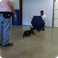 Adopt A Pet :: Dylan - Greeneville, TN