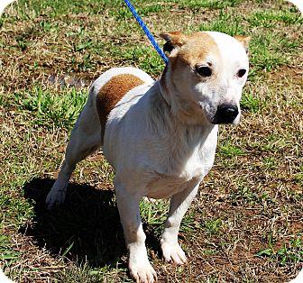 Corgi/Feist Mix Dog for adoption in Glastonbury, Connecticut - Jerry