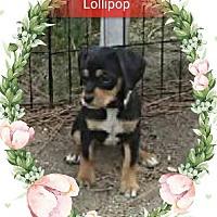 Adopt A Pet :: Lollipop - San Bernardino, CA