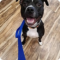 Adopt A Pet :: Chance - West Allis, WI