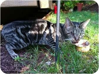 Domestic Shorthair Cat for adoption in Colmar, Pennsylvania - Blue Girl
