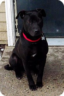 Labrador Retriever Mix Dog for adoption in kennebunkport, Maine - Trixie Rose, PENDING, in Maine