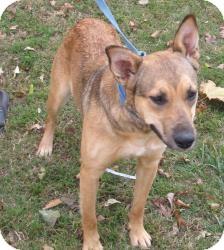 German Shepherd Dog/Labrador Retriever Mix Dog for adoption in Chicago, Illinois - Coco (ADOPTED!!)