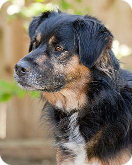Bernese Mountain Dog/Shepherd (Unknown Type) Mix Dog for adoption in Houston, Texas - Bernard