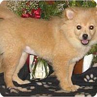 Adopt A Pet :: CUTIE - Essex Junction, VT