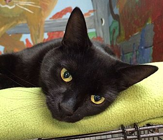 Domestic Shorthair Cat for adoption in Battle Creek, Michigan - Frank
