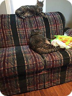 Domestic Shorthair Cat for adoption in Warren, Michigan - Mischief and Mayhem
