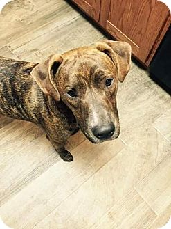 American Pit Bull Terrier/Boxer Mix Dog for adoption in Weatherford, Texas - Frank