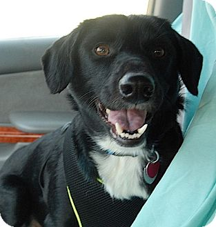 Labrador Retriever Mix Dog for adoption in Sagaponack, New York - Annette