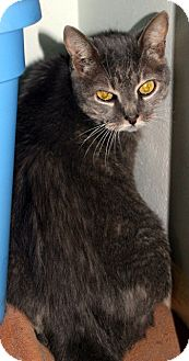 Domestic Mediumhair Cat for adoption in Putnam Hall, Florida - Princess Leia