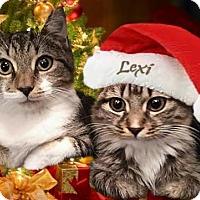 Domestic Shorthair Cat for adoption in Atlanta, Georgia - Lexi162094