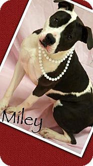 American Staffordshire Terrier/American Bulldog Mix Dog for adoption in Effort, Pennsylvania - Miley