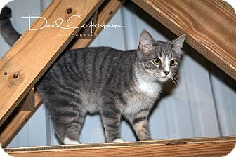 Domestic Shorthair Kitten for adoption in Monterey, Virginia - King James $35 special
