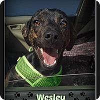 Adopt A Pet :: Wesley - Doylestown, PA