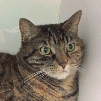 Domestic Shorthair Cat for adoption in Fairfax, Virginia - M J