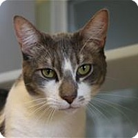 Domestic Shorthair Cat for adoption in Lincoln, California - Spartacus