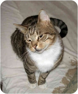 American Shorthair Cat for adoption in Cranford, New Jersey - Bogey