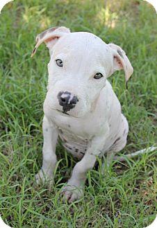 American Pit Bull Terrier Mix Puppy for adoption in Mesa, Arizona - Bones