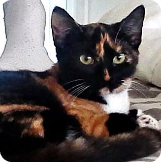 Polydactyl/Hemingway Kitten for adoption in Seminole, Florida - Phoebe