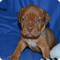 Adopt A Pet :: Atlas - Phoenix, AZ