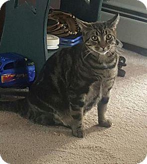 Domestic Shorthair Cat for adoption in Nesquehoning, Pennsylvania - Sam