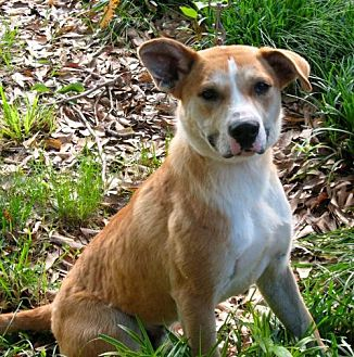 Labrador Retriever Mix Dog for adoption in Olive Branch, Mississippi - Buddy