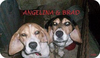 Beagle Dog for adoption in Ventnor City, New Jersey - ANGELINA & BRAD