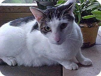 Domestic Shorthair Cat for adoption in New Bern, North Carolina - Mattie