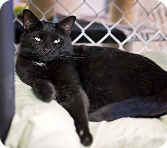 Domestic Shorthair Cat for adoption in Freeport, New York - Ella
