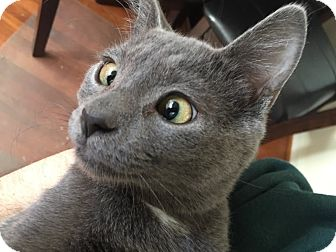 Russian Blue Kitten for adoption in Arlington, Virginia - Petey- Adoption Pending
