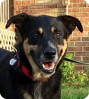 German Shepherd Dog/Retriever (Unknown Type) Mix Dog for adoption in Virginia Beach, Virginia - Chiko