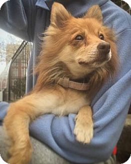 Pomeranian Mix Dog for adoption in Brooklyn, New York - Leah