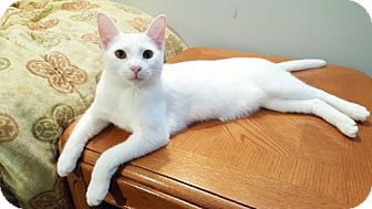 Domestic Shorthair Cat for adoption in Los Angeles, California - Herman (bonded to Bernie)