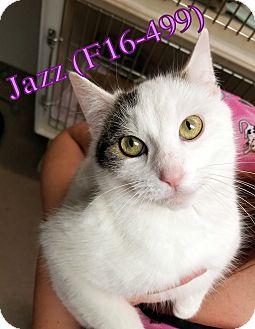 American Shorthair Kitten for adoption in Tiffin, Ohio - Jazz