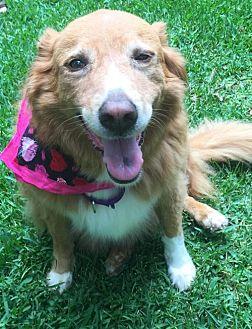 Golden Retriever Mix Dog for adoption in Atlanta, Georgia - Bella, Golden mix